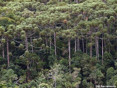 Pino paraná Araucaria angustifolia