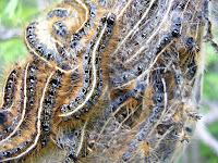 Tent Caterpillars (Malacosoma americanum)