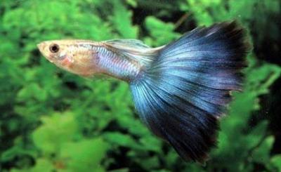 Gambar jenis ikan guppy