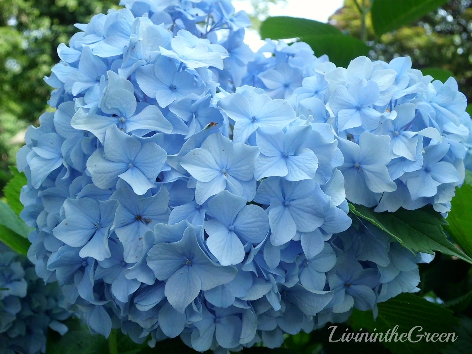 Hydrangeas Are Not Made For Deep Shade But I Ve Found That Planted On The East Side Of Our House They Do Much Better In Shaded Areas
