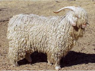 capre de lână