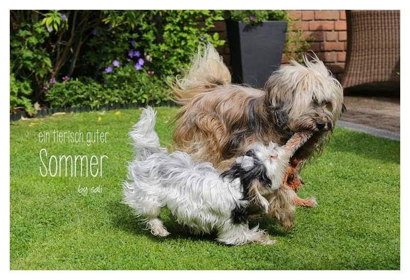 Tibet Terrier Chiru beim Toben mit Biewer Yorkshire Lotta