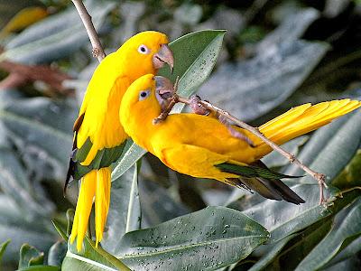 YellowParrot HD Birds wallpaper