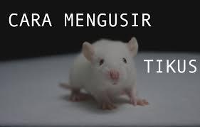 Tahukah Anda, Kopi Berupaya Membunuh Tikus