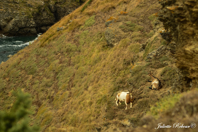 Chèvres sur le sentier côtier, Belle-Ile-en-mer
