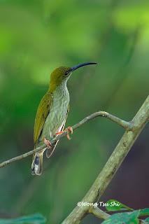 Jenis Burung Pijantung (cucuk jantung) di Indonesia