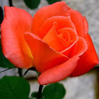 Rosa naranja - Solo Nuevas