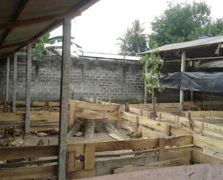 Berternak Itik tidak harus di lahan berair atau terdapat air Kabar Terbaru- BETERNAK ITIK DI LAHAN YANG KERING