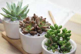 Office Succulents