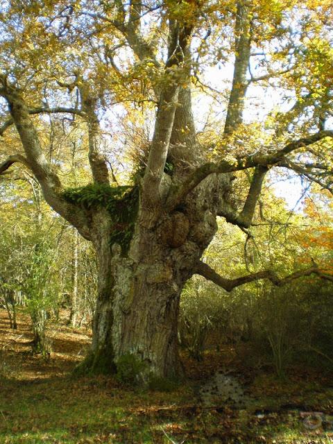 El bosque centenario de Munain Okariz (Alava)