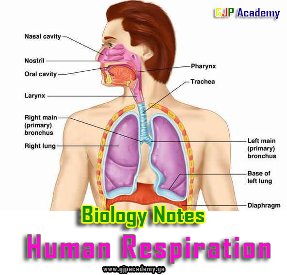 Biology Notes On Human Respiration Gjp Academy
