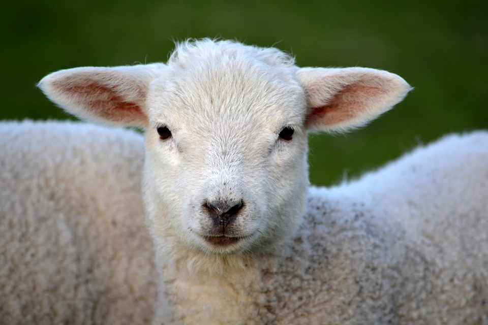 Where are the best places to see lambs in the North East this Easter?  - Whitehouse Farm
