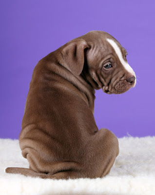 A puppy sits with its back to the camera with a purple background