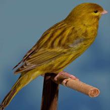 Cara Membedakan Burung Kenari Cinamon