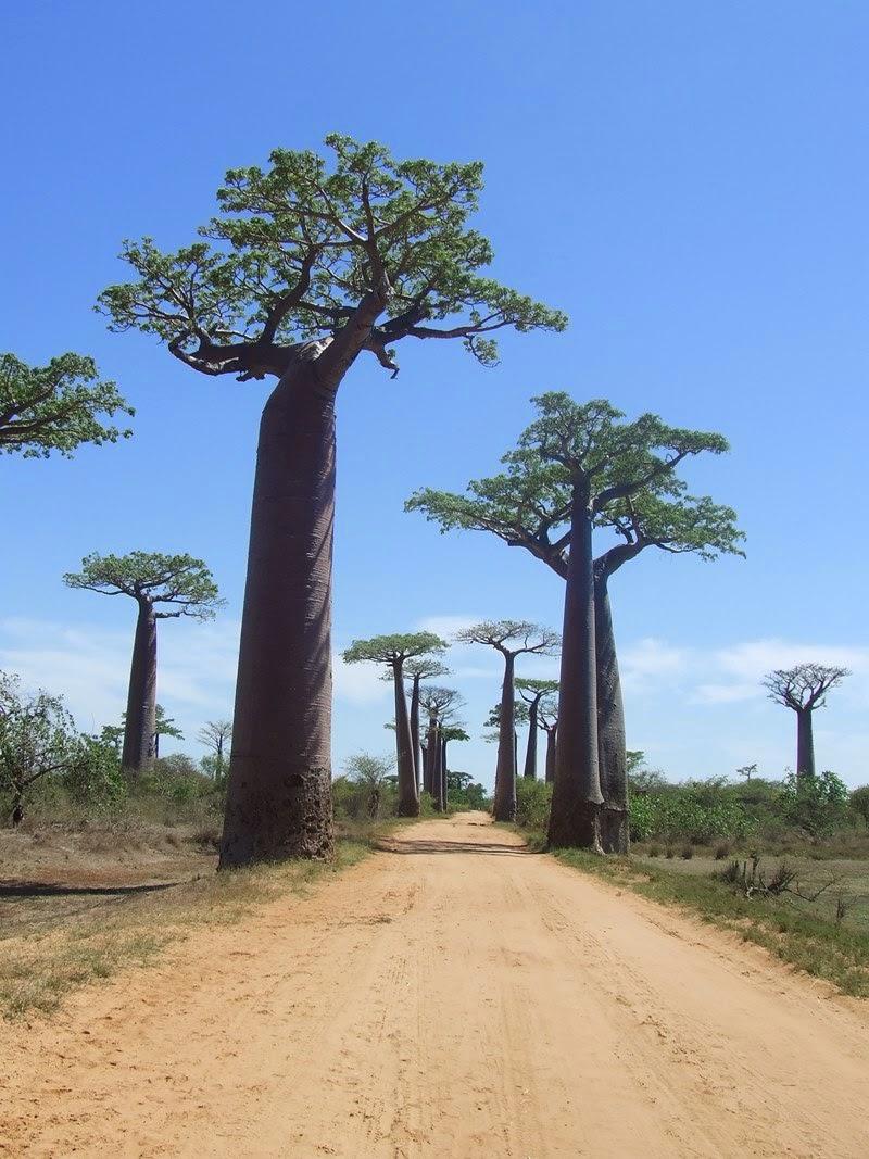 Baobabs Madagascar