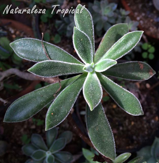 Foto de la Echeveria Peluda o de Terciopelo, Echeveria pulvinata