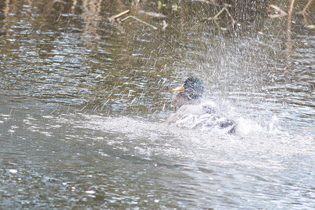 Mallard Splashing