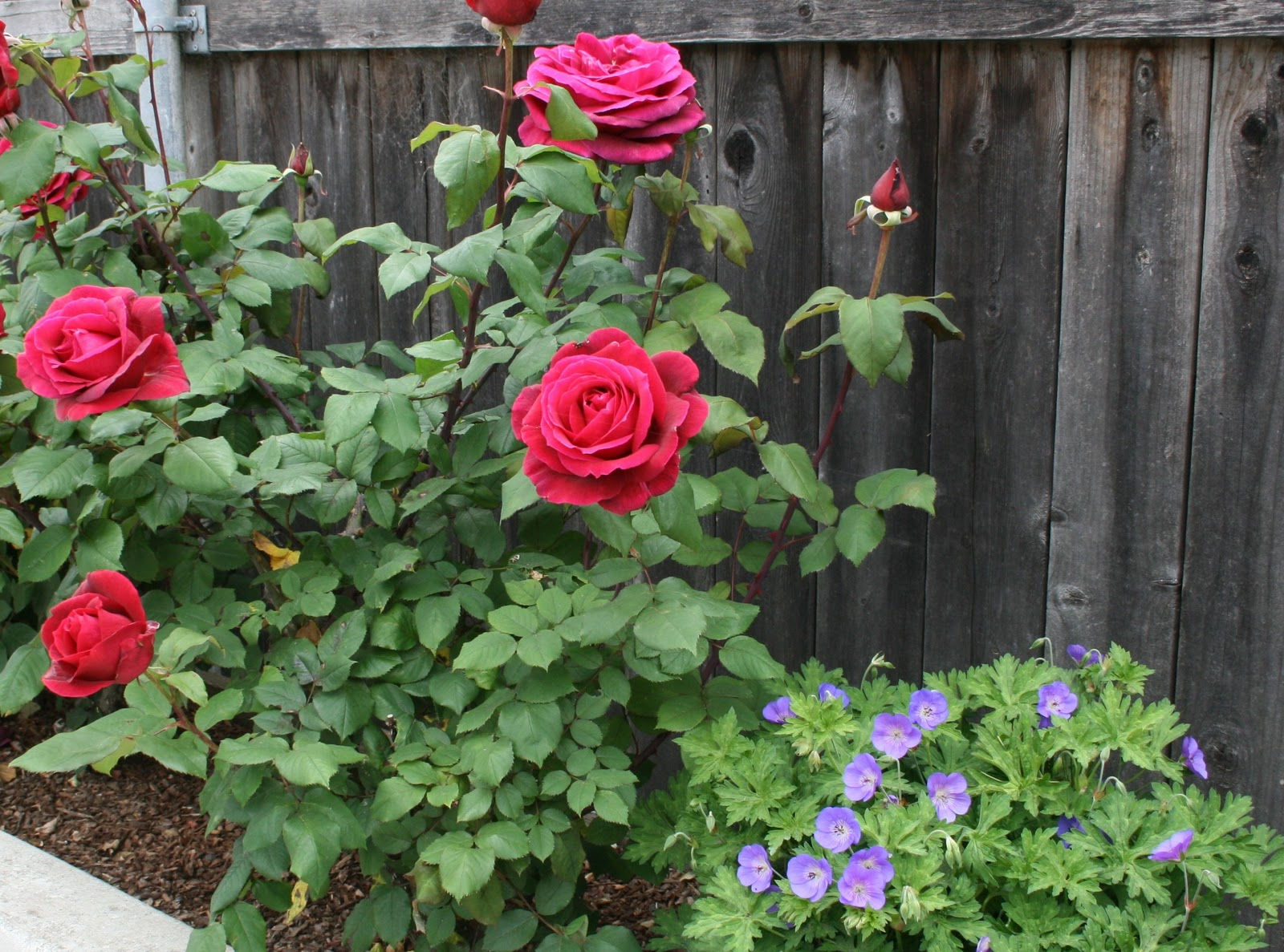 Lucy On Gardening What Are Some Of The Rose Varieties And