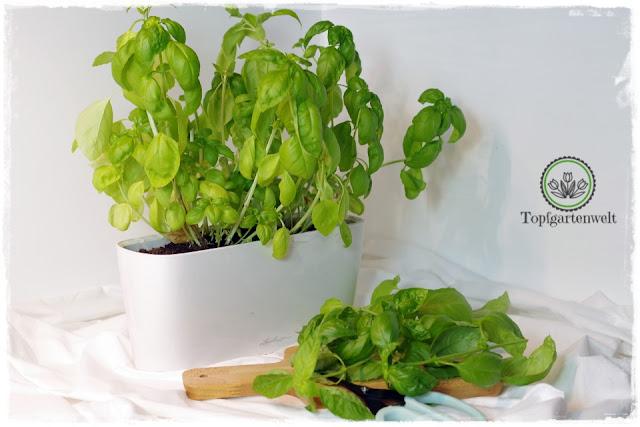 lange Freude am Basilikum durch richtige Kultur und Pflege - Gartenblog Topfgartenwelt