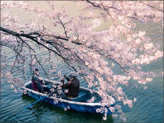 Foto Bunga Sakura di Jepang Yang Sangat Indah