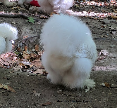 Clean fluffy butts are an indication of a hens health