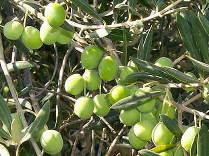 15 Manfaat minyak zaitun | Khasiat Minyak Zaitun untuk Kesehatan |  Jenis dan Kandungan