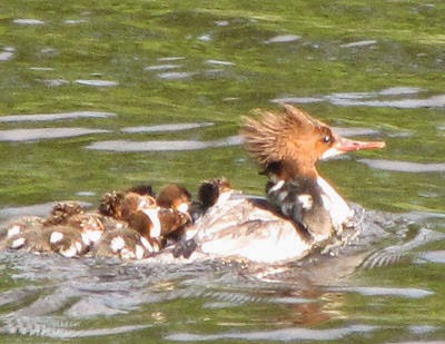 female mergansers and baby