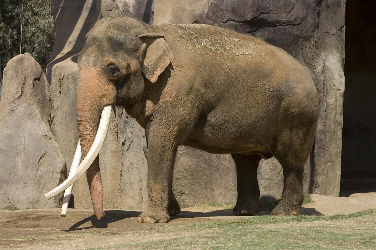 life elephants The span asian