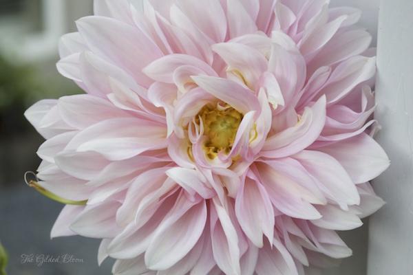 Pink Dahlia- www.gildedbloom.com