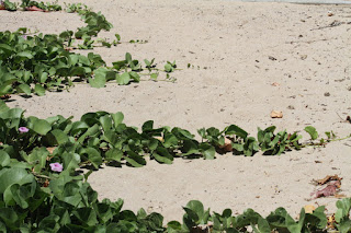 Green vines stretched out across the pale sand. There are a few pink flowers along the vines at left.