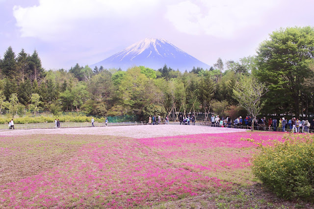 how to get to fuji shibazakura festival