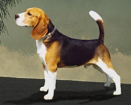 beagle ul meu nu va pierde în greutate