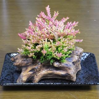 カナールで造った盆栽です。