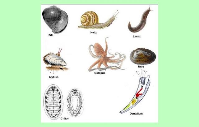 Pengertian Mollusca, Struktur Tubuh Mollusca, Ciri Mollusca, Klasifikasi Mollusca