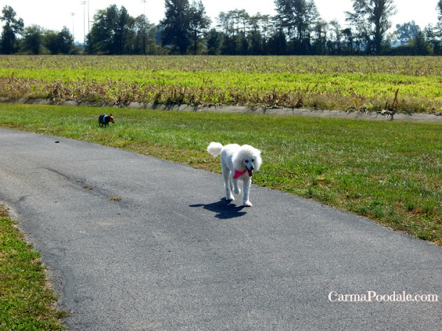 Standard Poodle and Chihuahua walking on trail