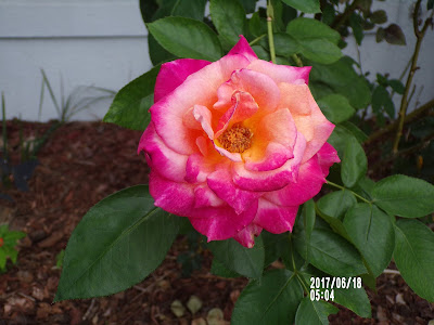 How Are You Feeling Today?-A Little Bit Of Something- Multicolor Rose the smell is great. Helps with coping in any situations.