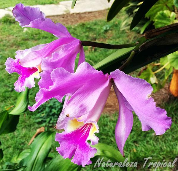 Flores de una especie del género Cattleya