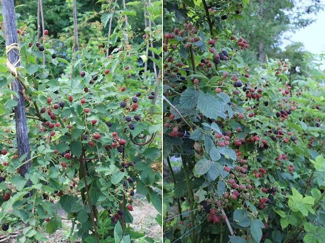 Brombeerbusch