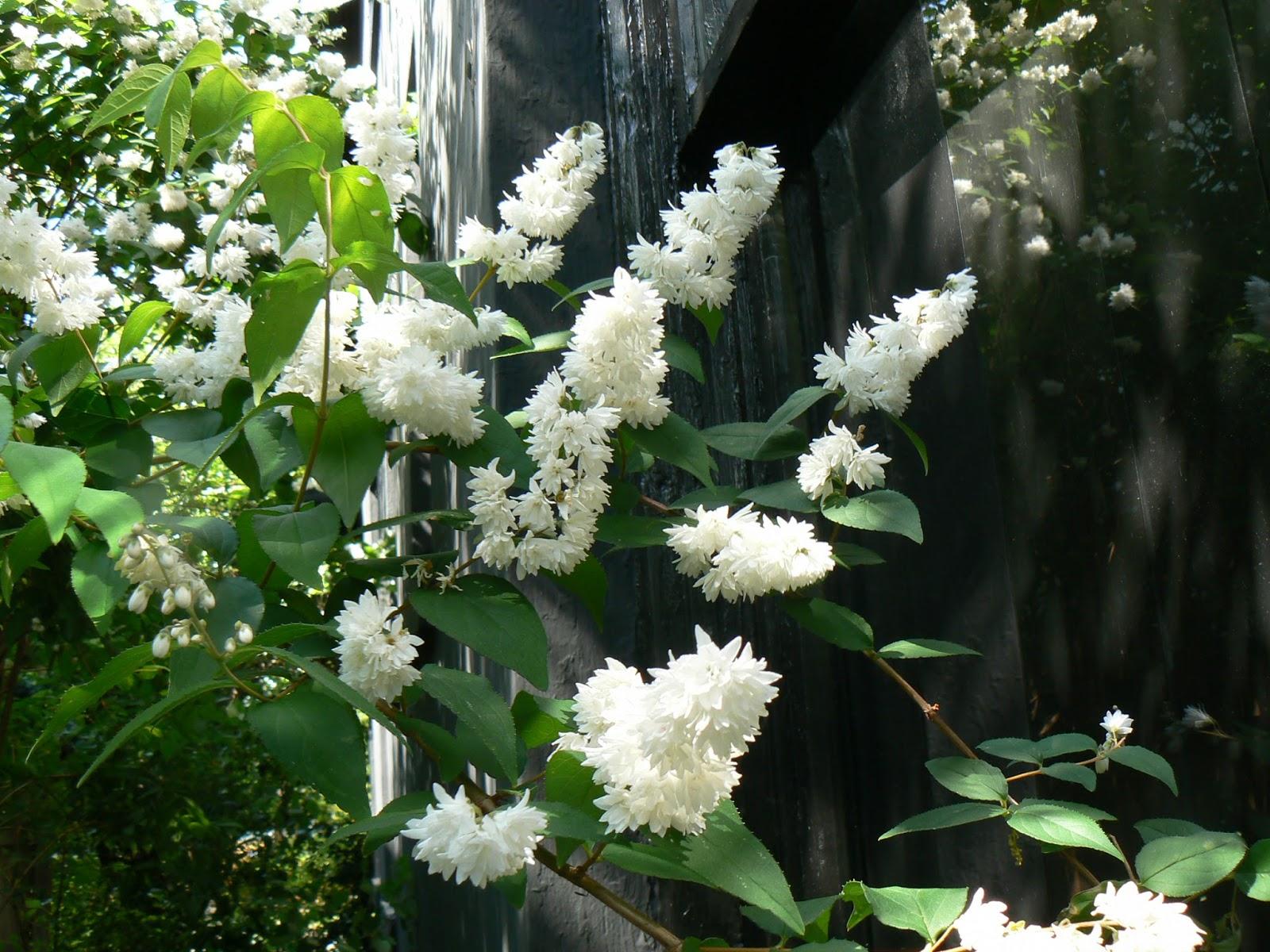 Garden Photo Of The Day Gather Ye Rosebuds