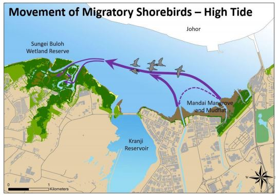 From surveys and radio-tracking of shorebirds in recent years, NParks confirmed that the majority of shorebirds that roost in the wetland reserve at high tide would fly to look for food at the extensive mudflat exposed at low tide.