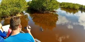 Alligatoren anschauen während Airboat Everglades