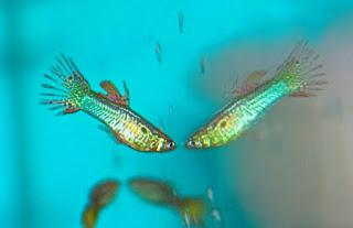 Gambar jenis Ikan Guppy German Platinum