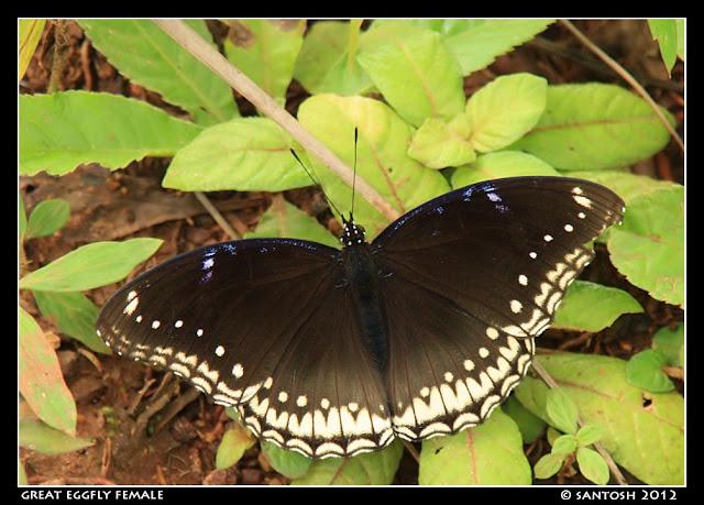Huchchara Santhe: Butterflies Part V