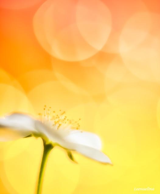 Lakka kukkii