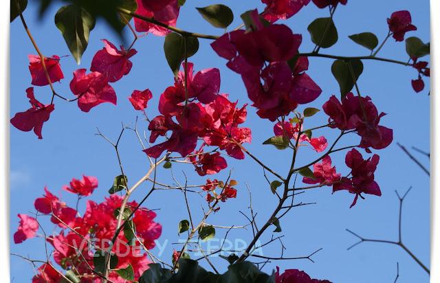 Verde y tierra buganvilla for Matas ornamentales