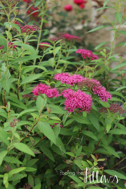 Anthony Waterer Spirea