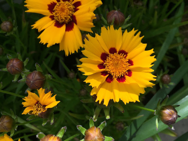 gelb blühende Sommerblumen