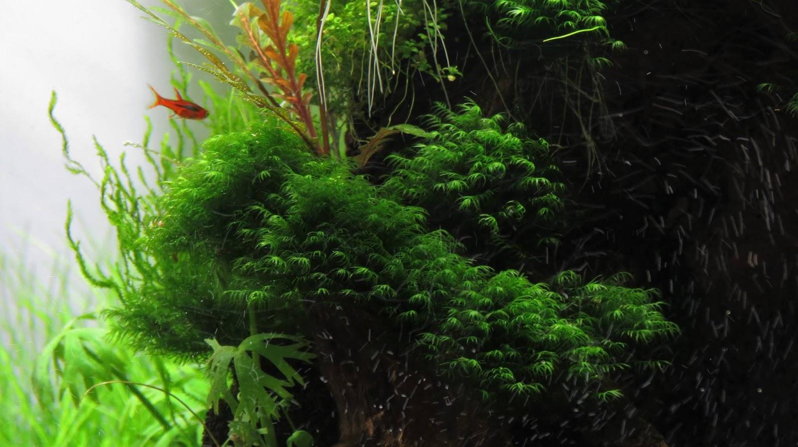 Rêu US fiss tuyệt đẹp trong hồ thủy sinh của Piga Ati