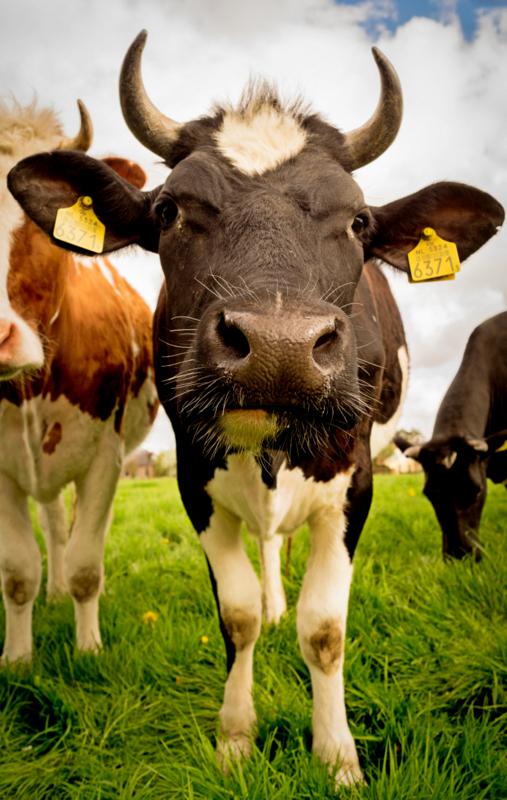wolowina, krowa, marcin dorocinski, punkt krytyczny rewolucja zywieniowa, efekt cieplarniany, punkt krytyczny, rewolucja zywieniowa, lokalna zywnosc, ekologiczna zywnsc, ekologia, slad weglowy, eko, sezonowa zywnosc,,wwf, zycie od kuchni