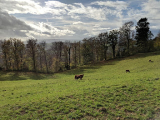 Cows graze in a sunlit field near the summit of the Uetliberg, Zürich, Switzerland